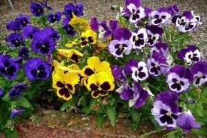 ดอกหน้าแมวมีหลายสี