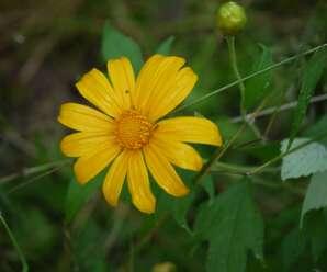 ดอกบัวตอง ดอกสีเหลืองทอง คล้ายดอกทานตะวัน