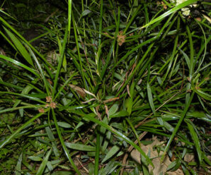 หญ้าตะกรับ ชอบขึ้นในดินชื้น พบทั่วไปบริเวณท้องนาและที่ที่มีน้ำท่วมขัง