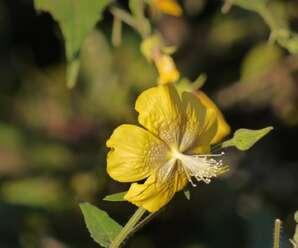 ก่องข้าวหลวง เป็นวัชพืช ลำต้นเป็นเส้นใยใช้ทำเชือก