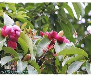 มณฑาป่า ดอกสีม่วงอมแดง ปลูกเป็นไม้ประดับให้ร่มเงา