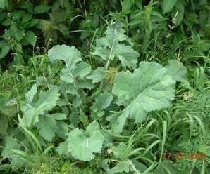 ผักกาดกุง รับประทานเป็นผักลวก ทั้งต้นกิน เป็นยาบำรุงธาตุ บำรุงหัวใจ