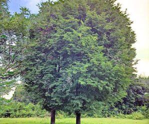 ต้นมะขาม ไม้ยืนต้นขนาดกลางถึงใหญ่ แตกกิ่งก้านมาก ไม่มีหนาม