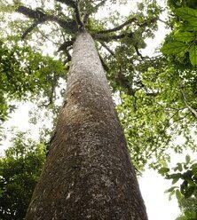 ต้นชาด ไม้ยืนต้น เนื้อไม้แข็ง ใช้ทำสิ่งปลูกสร้าง