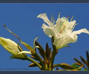 อรพิม เป็นดอกไม้ประจำมหาวิทยาลัยราชภัฏกาญจนบุรี