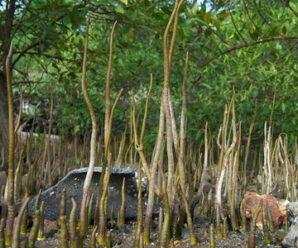 แสมขาวป่าชายเลน ไม้ยืนต้นขนาดกลางถึงใหญ่ ทั้งต้นมีสรรพคุณทางยา