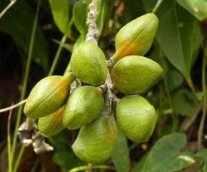 ถอบแถบเครือ ใบอ่อน ยอดอ่อนและดอก รับประทานเป็นผักสดหรือลวก ต้ม (ยอดอ่อนมีรสขมมาก) ทั้งต้นมีสรรพคุณทางยา