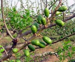 มะกอกแดง ยอดอ่อนรับประทานเป็นผักสด ผลสุกรับประทานเป็นผลไม้