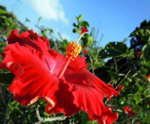 ชบา ไม้ประดับ ดอกสีแดง รากรับประทานช่วยขับน้ำย่อย