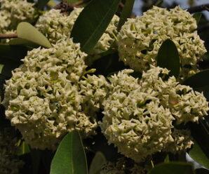 ต้นตีนเป็ด ไม้ยืนต้นขนาดใหญ่  ดอกมีกลิ่นหอมแรง