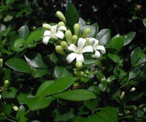 ต้นแก้ว พรรณไม้ยืนต้นขนาดเล็กถึงขนาดกลาง ดอกสีขาวมีกลิ่นหอม