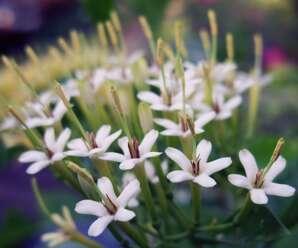 หอมเจ็ดชั้น ดอกสีขาวหรือสีขาวอมเหลือง ดอกส่งกลิ่นหอมแรงตลอดวัน