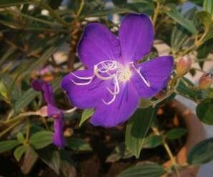 โคลงเคลง ปลูกเป็นไม้ดอกไม้ประดับ ตกแต่งในสวนหย่อม