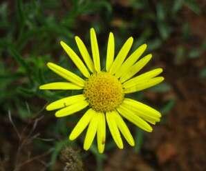 ดาวกระจายน้อย ไม้ดอกสีเหลือง ปลูกเป็นไม้ดอกไม้ประดับ