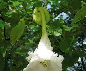 แคป่า แคนา ดอกขาว รสขม สรรพคุณดอกแคป่า ต้นแคนา ชื่อวิทยาศาสตร์คือ