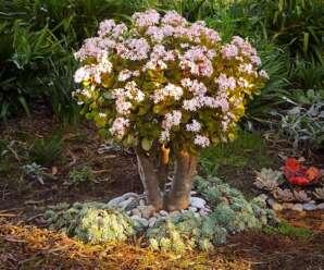 คลาสซูล่า พืชที่ปลูกในร่มได้ดีและมีความทนทาน ทนแล้ง ปลูกประดับโต๊ะทำงาน หรือปลูกแบบบอนไซ