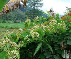 แสลงพันเถา ไม้เถาเนื้อแข้ง ดอกสีเหลืองอมเขียว