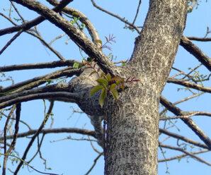 มะกอก หมากกอก มะกอกป่า เป็นยาบำรุงธาตุ บำรุงสายตา แก้กระหายน้ำทำให้ชุ่มคอ