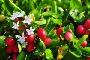 ผลและดอกมะม่วงหาว