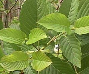 กระท่อม พืชมีพิษ สารสำคัญที่พบคือ ไมทราไจนีน (Mitragynine) เป็นสารจำพวกอัลคาลอยด์ ออกฤทธิ์กดประสาทส่วนกลาง