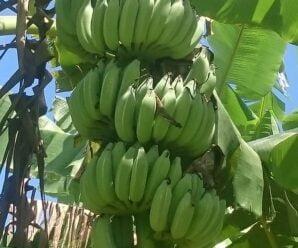 กล้วยน้ำว้า กล้วยอ่อง