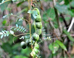 มะขามเครือ ลำต้นและใบแห้ง นำมาตำให้เป็นผงละเอียด ชงเป็นยาบำรุงร่างกาย