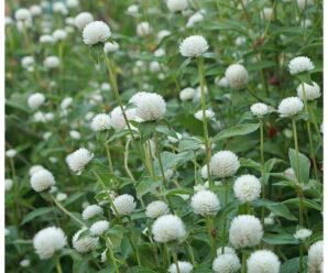 สามปีบ่เหี่ยว,บานไม่รู้โรยดอกขาว,สามเดือนดอกขาว,กุนนีดอกขาว, กุนหยินขาว, ตะล่อม,