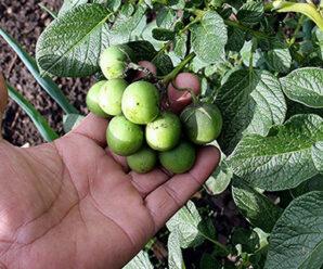 มันฝรั่ง มันอาลู จัดเป็นพืชเศรษฐกิจที่สำคัญในภาคเหนือ