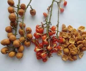 จำปูลิง ผลสุกใช้รับประทานเป็นผลไม้-ผลไม้หายาก