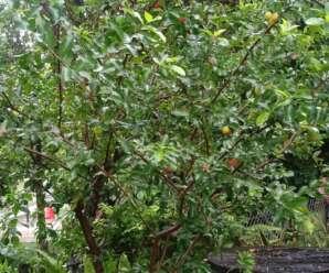 เชอรี่ไทย ผลสุกสีส้ม ส้มอมเหลือง มีกลิ่นหอม เนื้อสีเหลืองฉ่ำน้ำ รสเปรี้ยวจัด