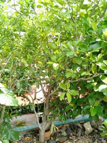 ต้นแก้วมุกดา