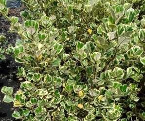 ต้นหัวใจเศรษฐี ต้นไม้มงคล ปลูกเป็นไม้ประดับสวนและใช้ทำบอนไซได้