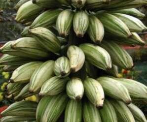 กล้วยด่าง ใบมีด่างสีขาวหรือสีเหลืองตามแนวเส้นใบหรือด่างเป็นปื้น นิยมปลูกประดับ