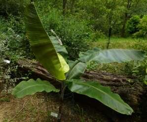 กล้วยตีบ เป็นลูกผสมระหว่างกล้วยป่ากับกล้วยตานี ปลูกเพื่อใช้ประโยชน์เป็นยาสมุนไพร