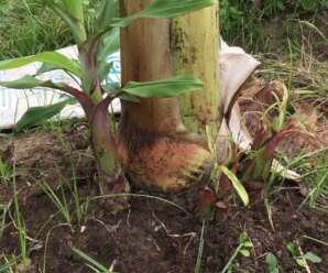 การปลูกกล้วย-ประโยชน์ของการปลูกกล้วยด้วยหน่อและการปลูกกล้วยด้วยการเพาะเนื้อเยื่อ