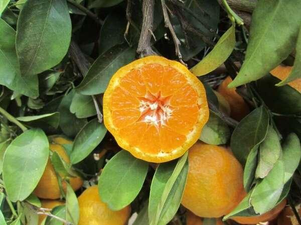 เนื้อผลส้ม