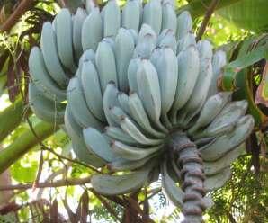 ความแตกต่างของใบกล้วยตานีและใบกล้วยป่า