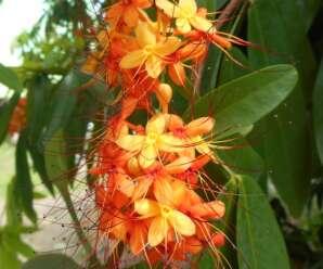 อโศก หรือ ส้มสุก ใบอ่อนและดอกใช้ทำแกงส้มหรือลวกจิ้มน้ำพริก รสเปรี้ยวอมฝาด