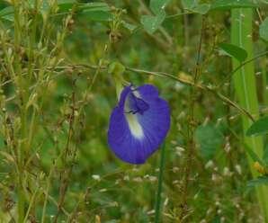 สีผสมอาหารจากธรรมชาติ-พืชให้สีย้อม